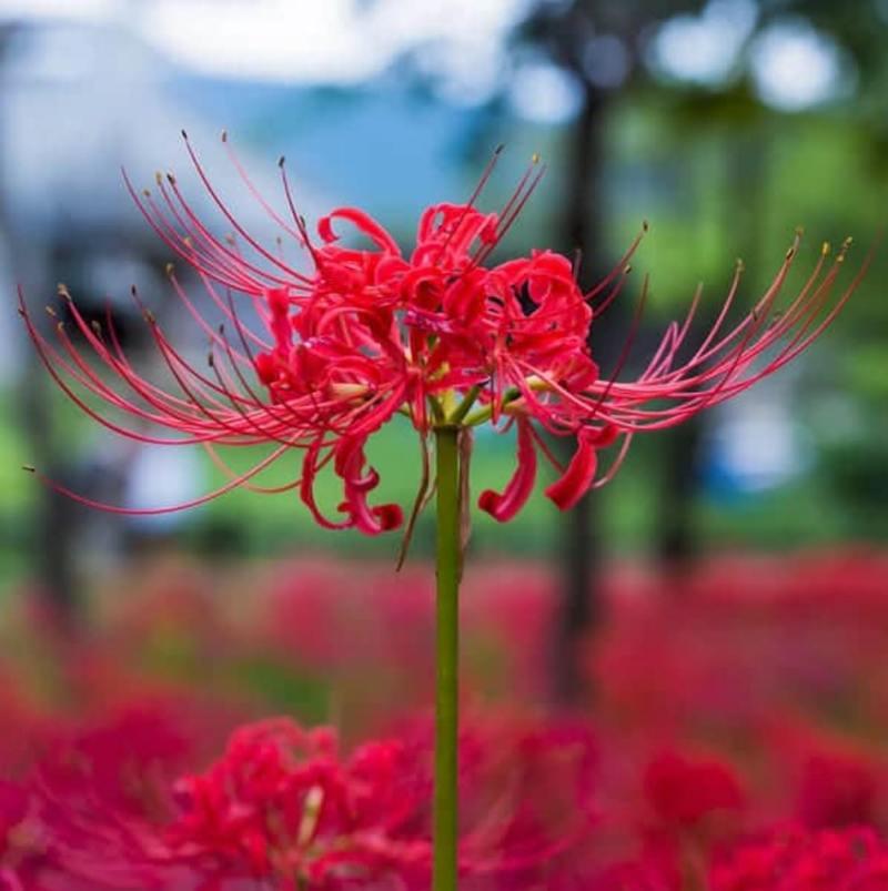 Hình ảnh hoa bỉ ngạn đẹp nhất