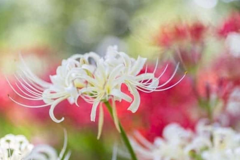 Đặc điểm hoa bỉ ngạn