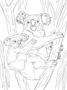 gấu túi mẹ cõng con trên lưng